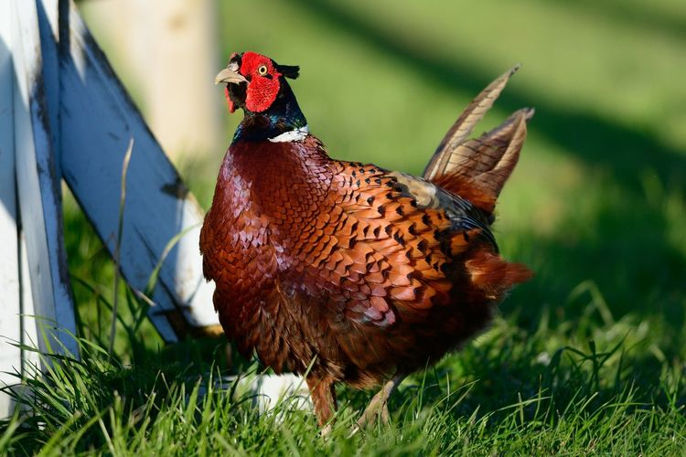 Close-up of pheasant on grassy field