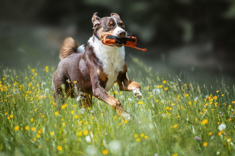 Dog running amidst flowering plants on field