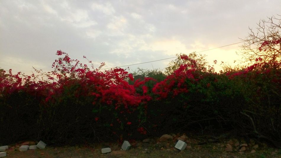 Sunset Nature Tree Blooming Green Leaf Pinkflowers Growth Green Color Sunshine And Shadows Petal Flowers,Plants & Garden Botony Cloud - Sky Beautiful Nature