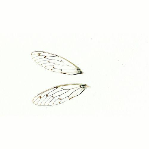 Wings Wings Ali Bug Bugs Cicala Insetti Animali Beautiful Beautiful Nature