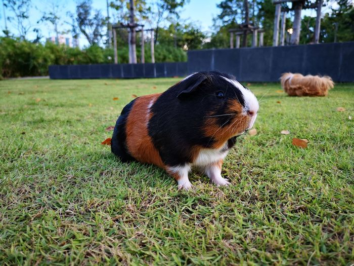 Look Forward Garden Model FUNNY ANIMALS Funny Nose Pets Grass Guinea Pig Grass Area Rodent Field