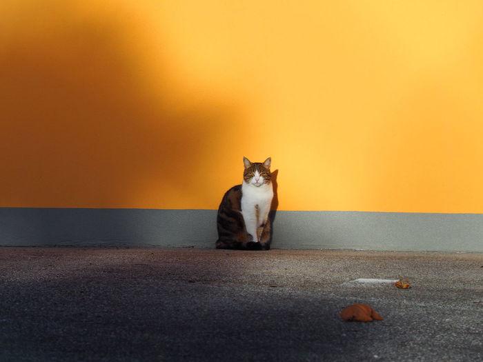 Animal Themes Day Domestic Animals Domestic Cat Feline Mammal Morning Morning Light No People One Animal Outdoors Pets Sun Yawning