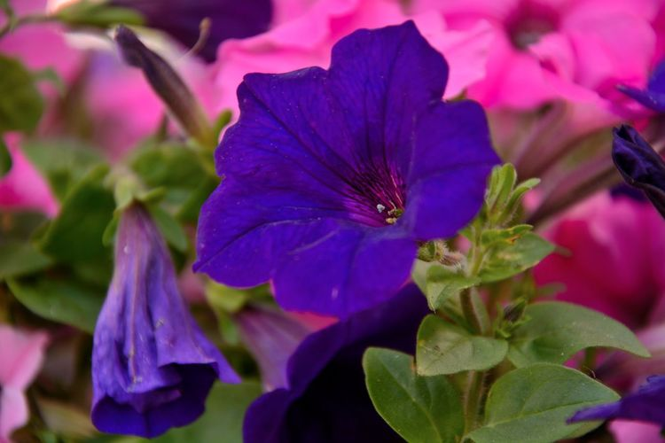 blue petunia EyeEm Best Shots - Nature EyeEm Nature Lover EyeEm Flowers Collection EyeEm Gallery EyeEm Nature Collection EyeEm Never Will Give Me A Prize For This Shot, But It's Pretty Cool For Me! EyeEmBestPics EyeEmNewHere Flowers,Plants & Garden Nature On Your Doorstep Nature Photography Blooming Flower Blue Flower Blue Petals Blue Petunia Flowers Eyeem Garden Eyeemphotography Flower Flower Head Flowers, Nature And Beauty Garden Photography Garden Photography Green Natural Green Leaves☘️ Photography Sohail Siddique