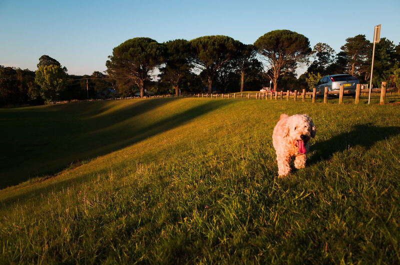Pet Dog Running On Grass