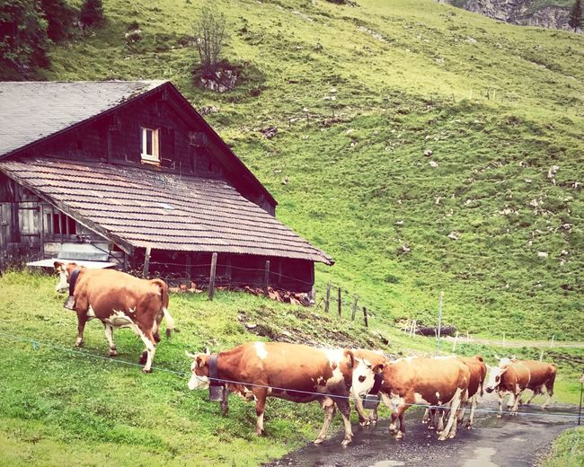 Investing In Quality Of Life Alps Kuh Cow Traditional Culture Swiss Mountains Melchtal