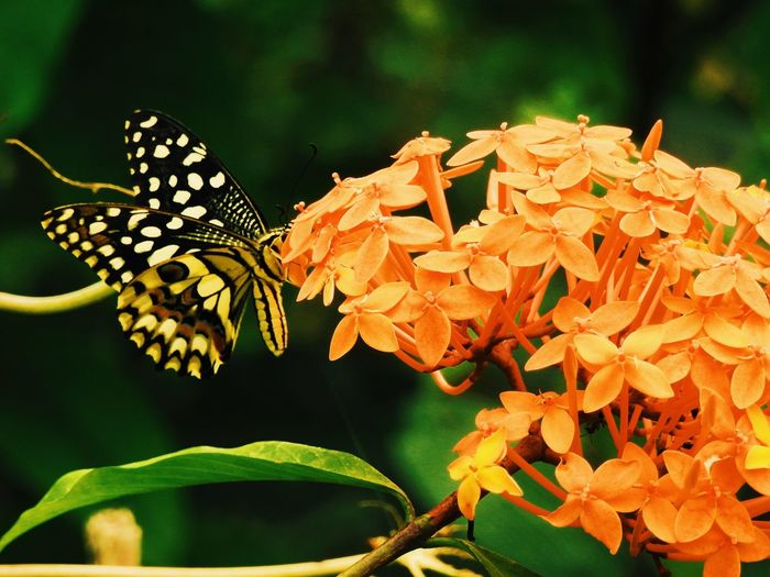 Close-up of butterfly on orange ixoras