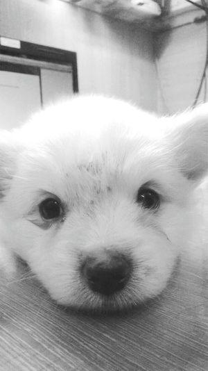Animal Lover Close-up Luminosity Illuminated Blackandwhitephoto Animal Representation Animal Themes Puppylove 😘😍🐶 Puppy Eyes