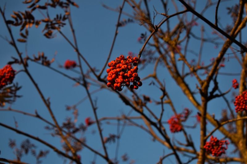 A bunch of ashberry. Sorbus Redberries Ashberry Berry Beauty In Nature Tree Bunch Autumn EyeEmNewHere Be. Ready. Branch Sky Nature Nature Photography Naturelovers Nature_collection Nikon_photography Nikon Nikonphotography