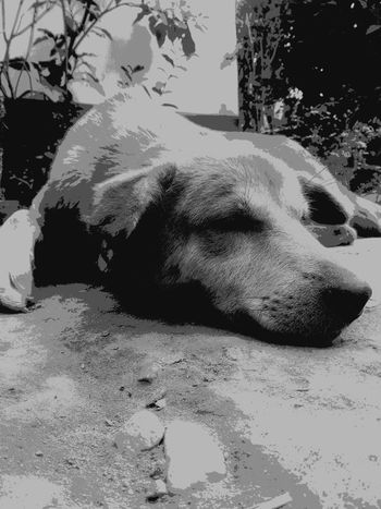 Dog In Relaxed Mood Domestic Dog Relaxing Moments Monochrome Monochrome Photography Blackandwhite Outdoors Animale Likeforlike Likes4likes Animals In The Wild Close-up EyeEm Team One Animal Animal Themes