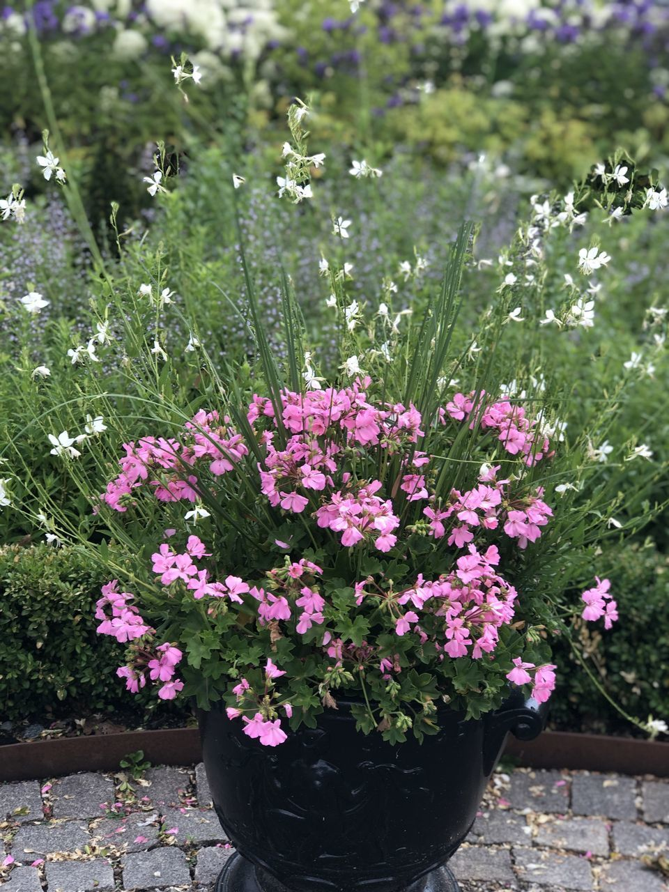 flower, flowering plant, plant, fragility, freshness, vulnerability, beauty in nature, nature, growth, pink color, day, flower head, no people, close-up, outdoors, inflorescence, petal, front or back yard, garden, grass, springtime, purple, flower pot, flowerbed