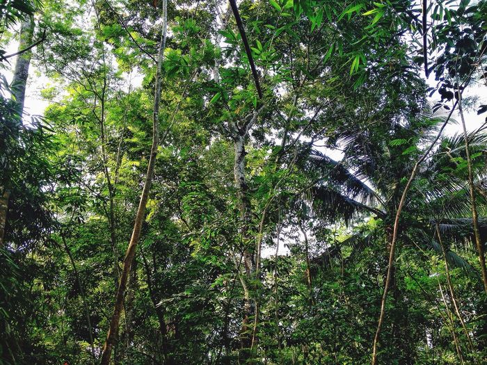 Tree Nature Growth Low Angle View Green Color No People Forest Tranquility Outdoors Beauty In Nature Day Bamboo Grove Tree Trunk Village Plantation