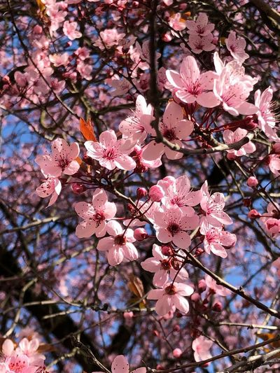 Der Frühling ist da Flowering Plant Flower Plant Tree Growth Fragility Pink Color