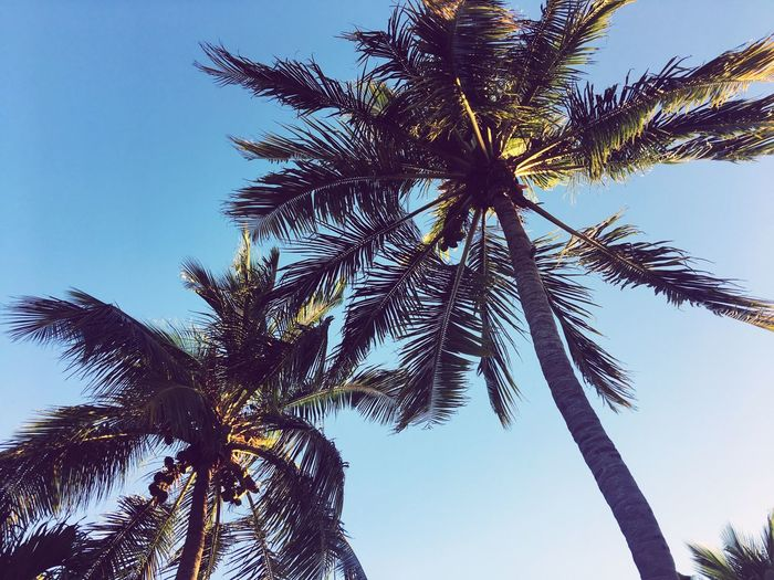 Palm Tree Tree Low Angle View Palm Frond Clear Sky Beauty In Nature Tree Trunk Growth Nature Tall Day Sky Outdoors No People First Eyeem Photo