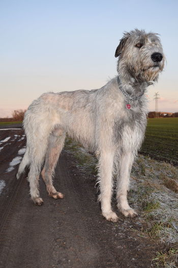 Dog Animal Themes Domestic Animals Sky One Animal Sunlight Winter 2017 February 2017 How Is The Weather Today? Animal Wildlife Cearnaigh Dogslife Irish Wolfhound Dogs Of EyeEm Dogs Of Winter Dogwalk Animal Head  Animal Body Part Tranquility Field Green Green Green!