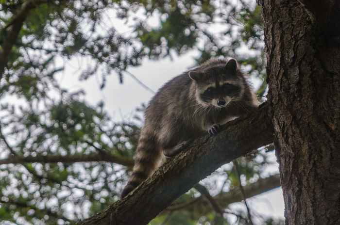 A racoon chilling in a tree Ballance Chilling Hang On In A Tree Tree Wild Animal Climbing Hang Out Racoon Wild Life