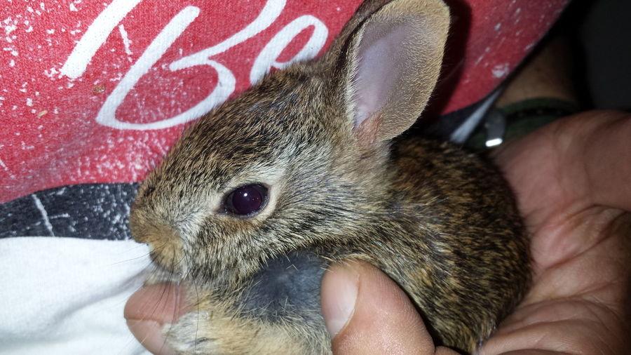 Cuteness Baby Bunny Bunny  Bunny Rescue One Animal Rabbit Wildlife Wildlife Rehab Wildlife Rescue
