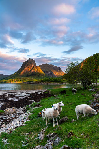 View of sheep on grassy field against sky