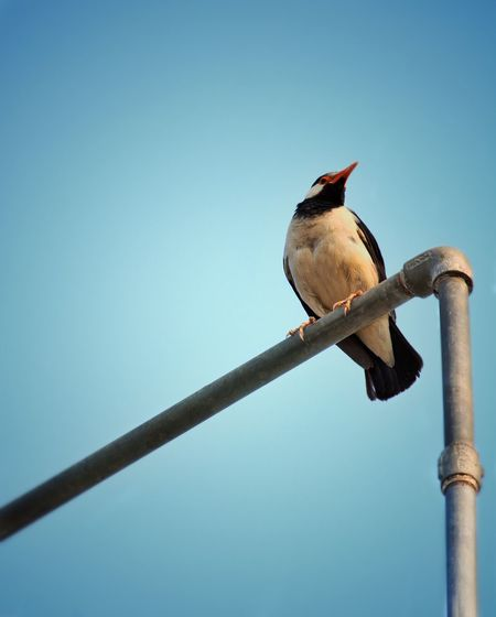 Low angle view of bird perching on pole against clear blue sky