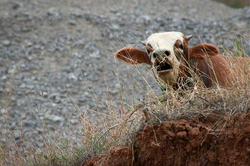 哞哞~ Cow Cattle Animal Photography Taking Photos Relaxing Landscape Tamron Canon Montain  Enjoying Life
