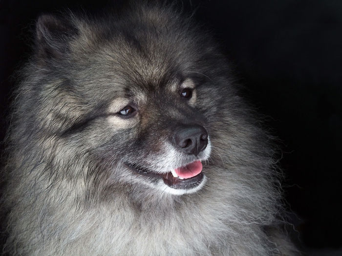 Alertness Eyes Are A Reflection Into Ones Soul Keeshond Keeshonden Keeshonds Portrait