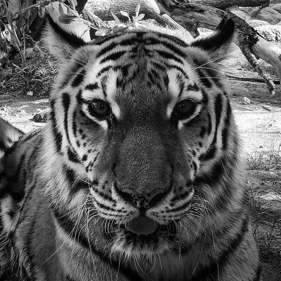 Emirates Park Zoo Tiger Al Bahia Blackandwhite