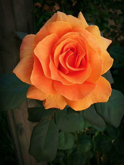 Orange Rose Perfect Flower Roses🌹 Close-up Outdoors No People Beauty In Nature Flower Head Plant Nature Petal Rose - Flower Flower Fragility Freshness Growth Day