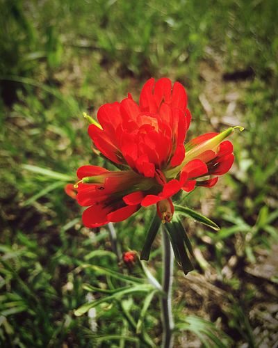 Indian Paintbrush Flowers Flower Petal Nature Growth Red Flower Head Beauty In Nature Plant Fragility Blooming Freshness No People Day Field Outdoors Close-up Missouri Native Wildflowers Shaw Nature Reserve
