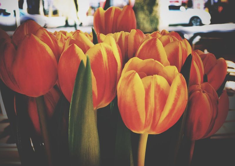 Spring Tulips Flower Petal Freshness Fragility Flower Head Beauty In Nature Tulip Growth No People Nature Close-up Blooming Day Indoors