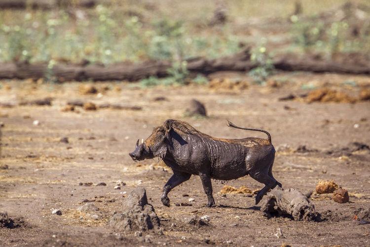 Warthog running on land