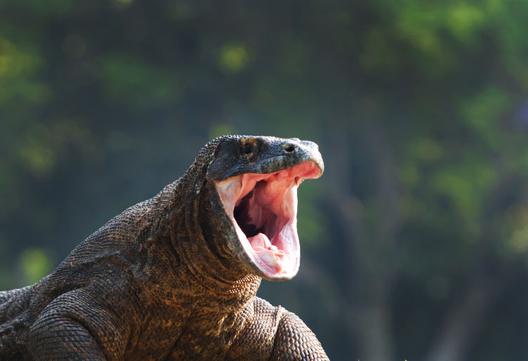 Komodo Dragon Yawning Against Trees