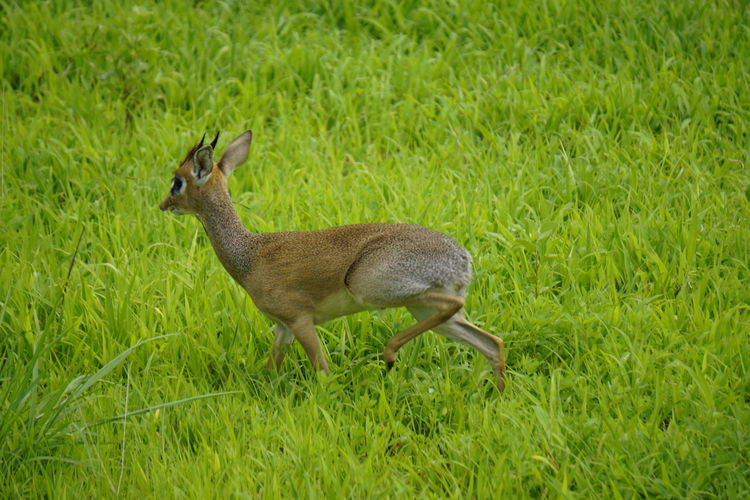Animal Animal Themes Animal Wildlife Animals In The Wild Day Deer Dik Dik Field Grass Green Color Growth Herbivorous Land Mammal Nature No People One Animal Outdoors Plant Side View Vertebrate