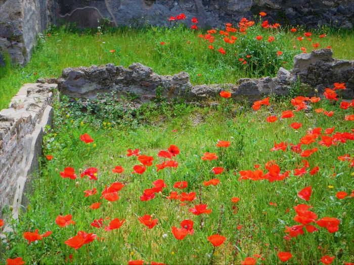 Beauty In Nature Day Flower Flower Head Freshness Grass Green Color Growth Nature No People Outdoors Plant Pompei Scavi Pompeii Details Pompeii Ruins Red