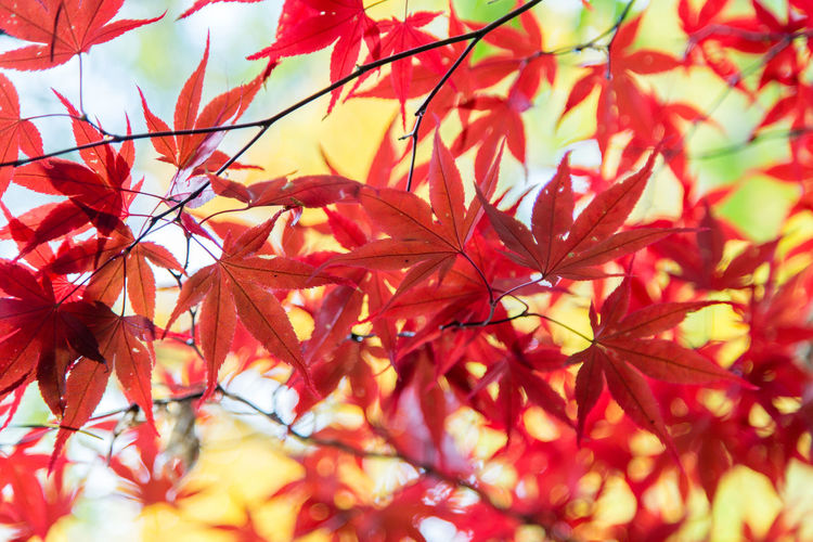 maple leaves on a try at Autumn Autumn Backgrounds Beauty In Nature Branch Change Close-up Day Fragility Growth Leaf Maple Maple Leaf Maple Tree Nature No People Outdoors Red Tree