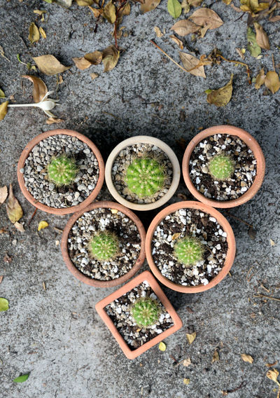 High angle view of cactus plants in pot