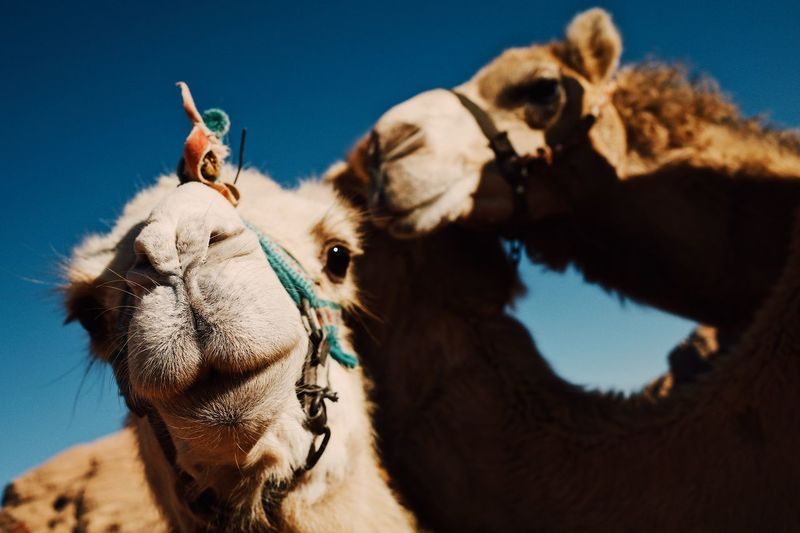 View of a camels. camels kissing