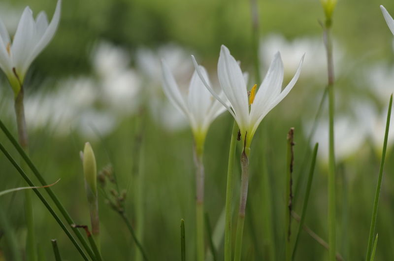 Close-up Flowers Green Blackground Macro Photography Macro_collection Nature Photography Nature_collection Naturelovers Plant White And Green White Flower Zephyranthes Zephyranthes Candida