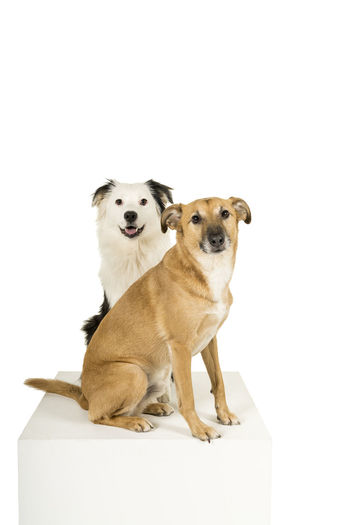 Little brown mixed breed dog and a black and white australian shepherd sitting on a white cube sideways isolated in a white background looking at the camera Pets Mammal Domestic Animals Domestic Animal Themes Dog Canine Animal Studio Shot Group Of Animals Two Animals White Background Sitting Vertebrate Indoors  Portrait Cut Out Looking At Camera No People Care Animal Family Australian Shepherd  Mixed Breed Dog Togetherness Friendship