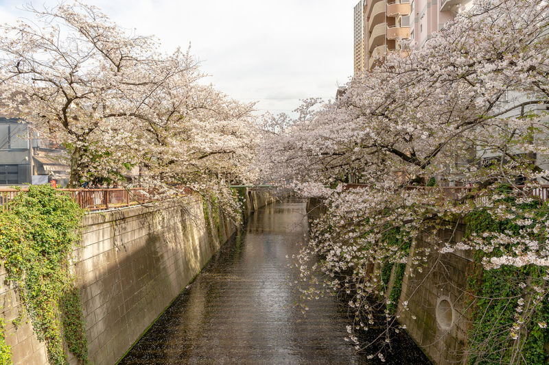 Cherry blossoms in canal amidst buildings