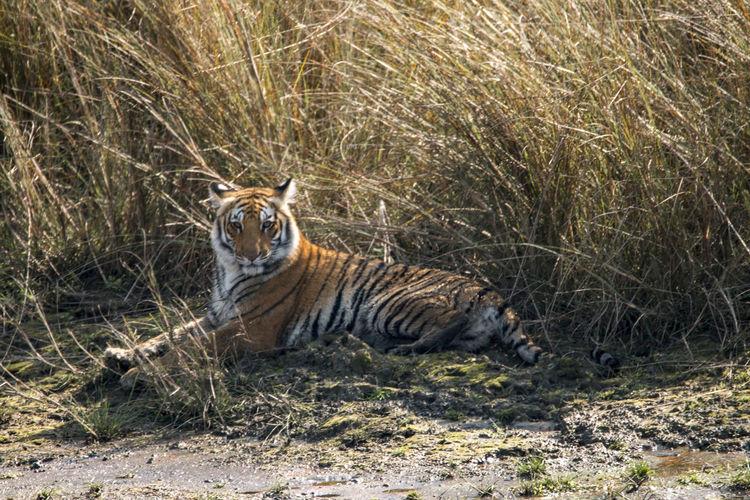 Portrait of tiger on field
