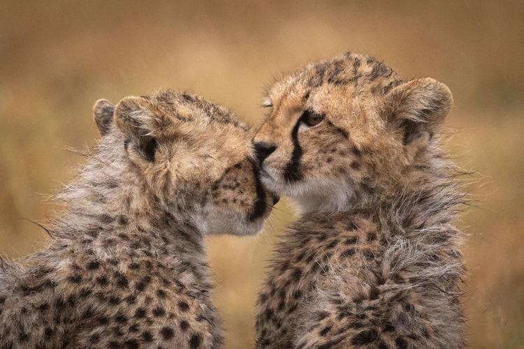 Close-up of cheetah cubs at field
