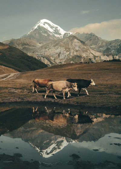 Cows by water against mountain
