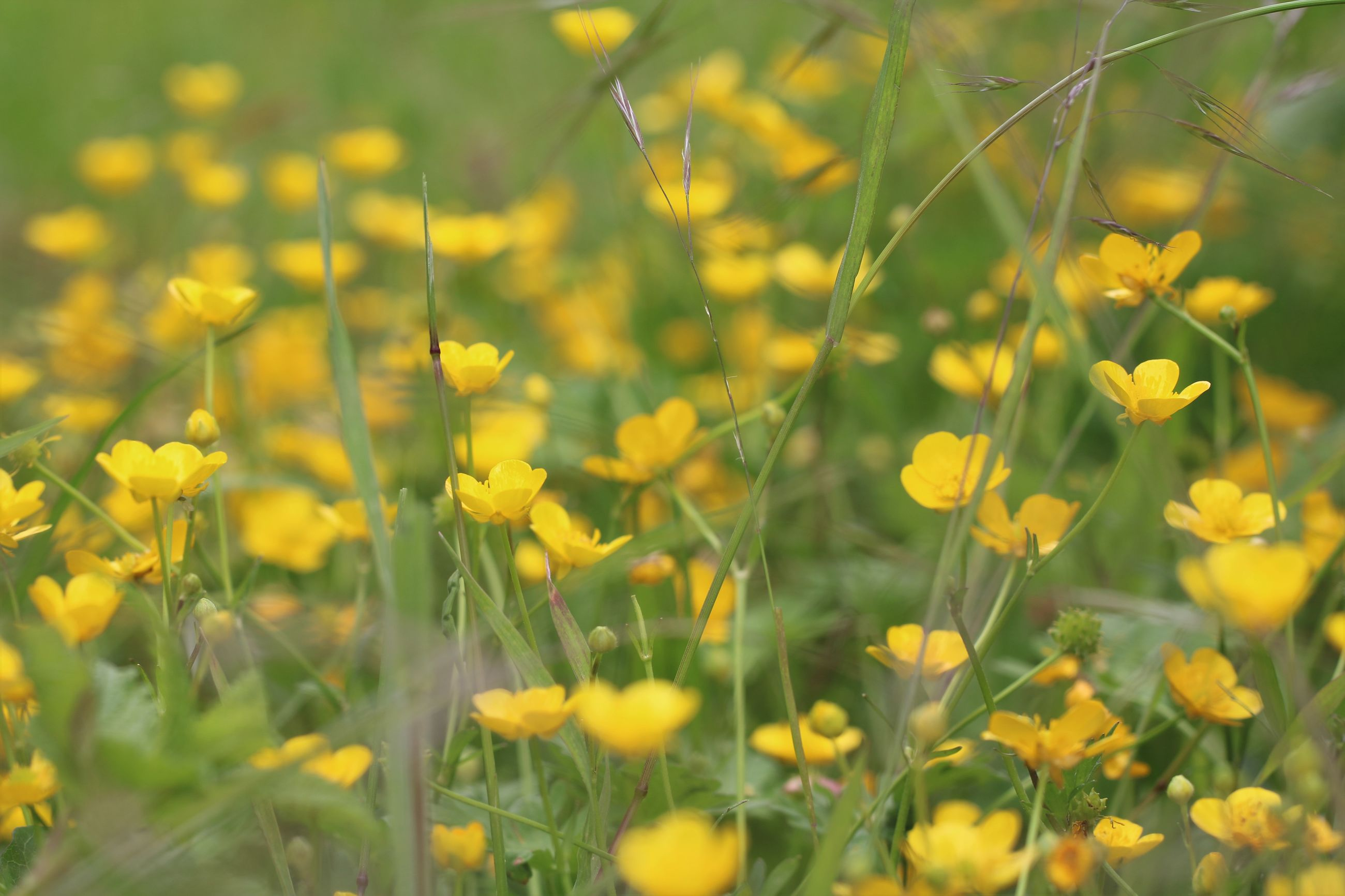 flower, yellow, growth, freshness, beauty in nature, fragility, focus on foreground, nature, plant, field, selective focus, close-up, blooming, petal, stem, outdoors, day, no people, in bloom, flower head
