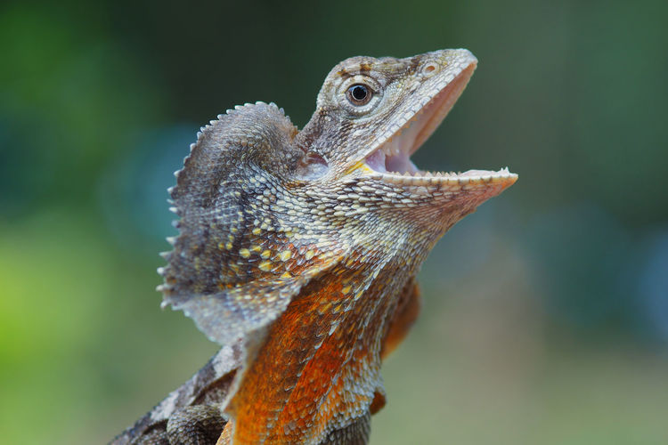 Close-up of lizard with mouth open