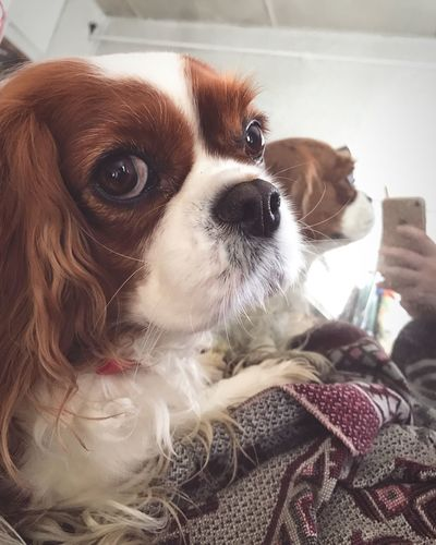 Pets Domestic Animals Dog Mammal Indoors  Home Interior Animal Themes One Animal Looking At Camera Portrait Close-up Day Mirror Iphone7 Doggy Cavalier King Charles Spaniel Ckcs Lovely Awesome Amazing Beauty Beautiful Gorgeous Eyes Russia