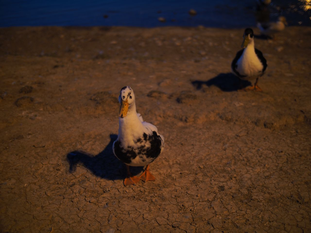 bird, animal themes, animals in the wild, animal wildlife, duck, no people, nature, seagull, outdoors, water, day