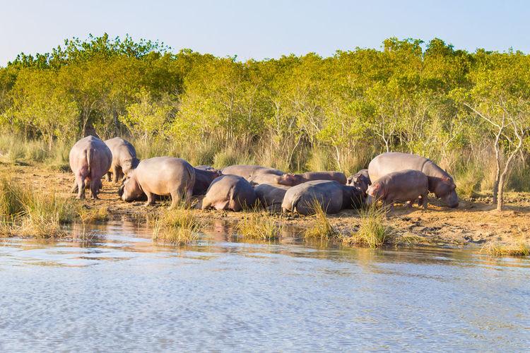 Herd of hippos