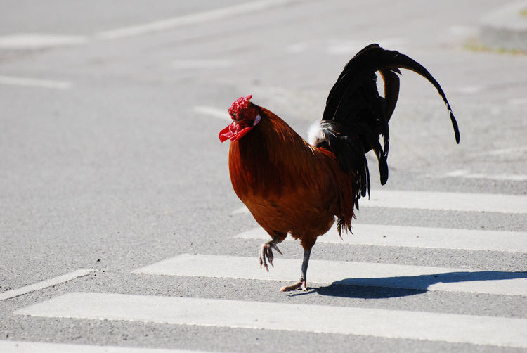 Rooster walking on pedestrian crossing