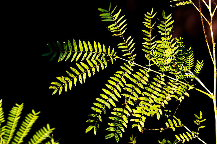 Be In Spo Dark Light Direct Light Growth Growth In The Da Leaf Pattern Need Of Ligh Stand Alone