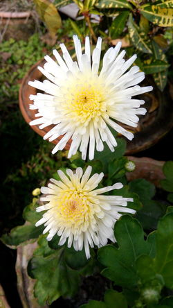 Beauty In Nature Blooming Blossom Botany Close-up Daisy Day Flower Flower Head Focus On Foreground Fragility Freshness Green Color Growth In Bloom Leaf Nature No People Outdoors Petal Plant Pollen Stamen White White Color