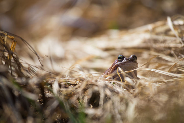 Close-up of frog on dry grassy field